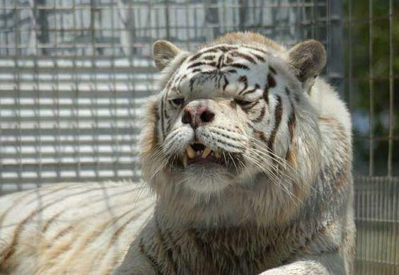 Но доводилось ли вам видеть «Кенни»? в мире, дефект, животные, зоопарк, мутация, тигр
