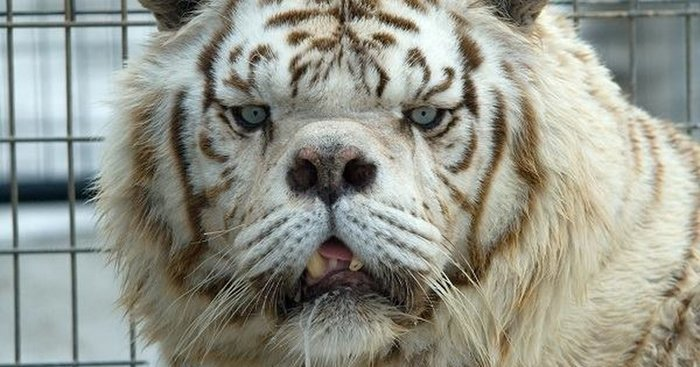 О чем молчат зоопарки: несчастные изгои белых тигров в мире, дефект, животные, зоопарк, мутация, тигр