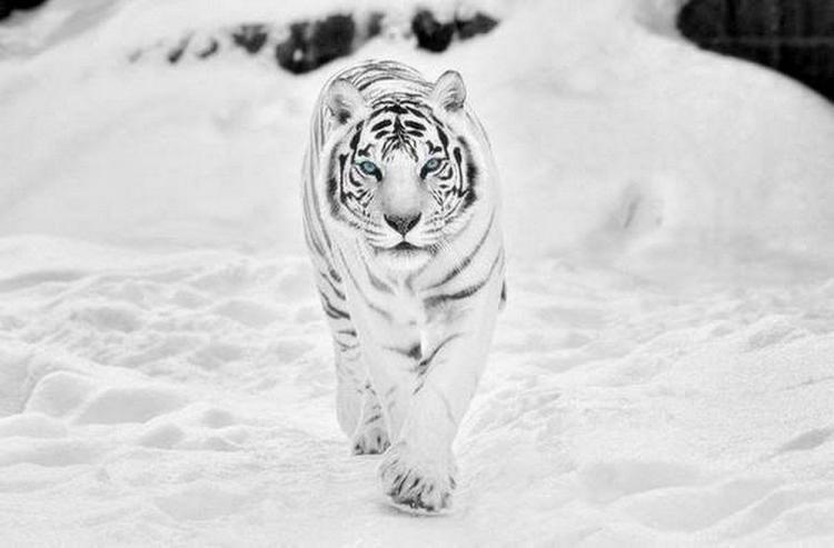 в мире, дефект, животные, зоопарк, мутация, тигр