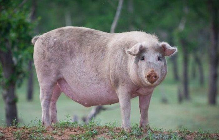 1. Огненная свинья войны, история, оружие