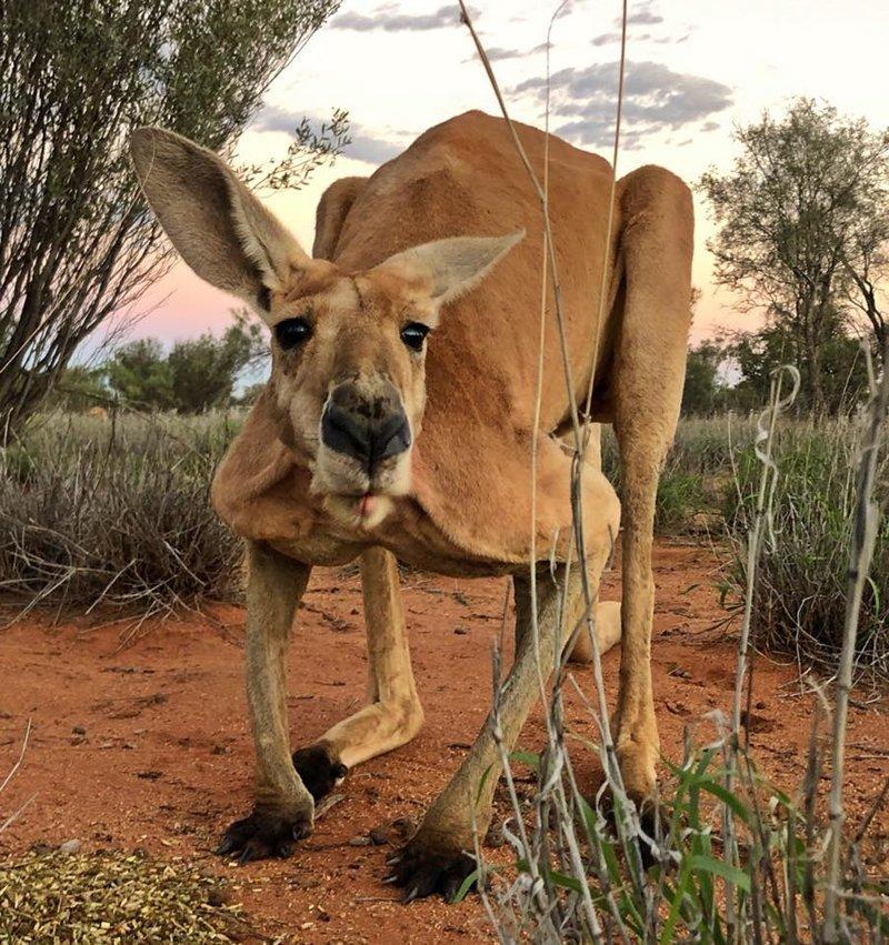 В Австралии появился король: двухметровый качок-кенгуру австралия, в мире, животные, качок, кенгуру, природа