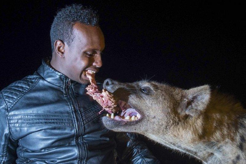 """""""Человек-гиена"""" ест от одного куска с хищниками, помогая соседям гиены, животные, звери и человек, необычно, рискованно, рядом с хищниками, человек-гиена, эфиопия"""