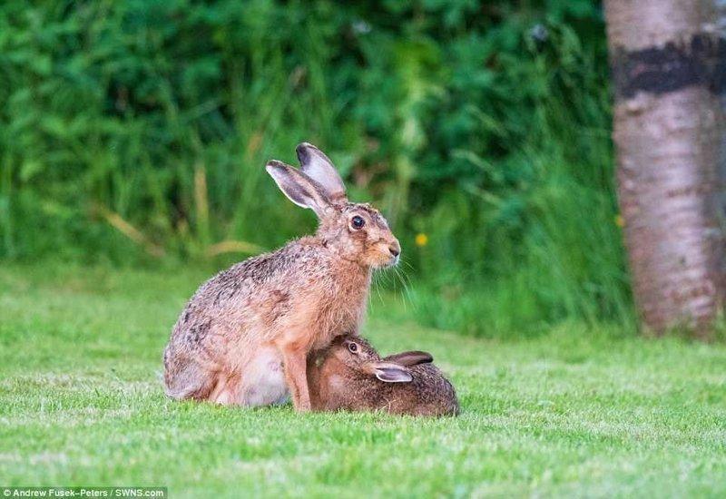 Редкие кадры зайчихи-мамы и зайца-малыша животные, зайчиха, зайчонок, заяц