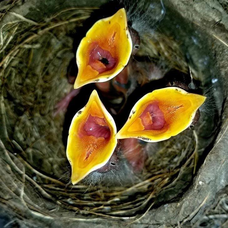 Эти экзотические цветы — вовсе не цветы, а голодные птенцы малиновки в мире, вещи, красота, люди, природа, удивительно