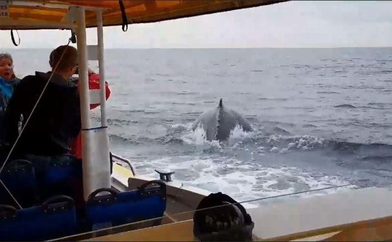 Туристы были ошеломлены, когда вблизи их лодки из воды выпрыгнул огромный горбатый кит в мире, видео, горбатый кит, люди, природа, удивительно
