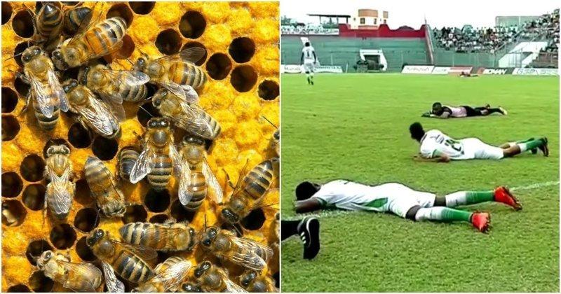 В Эквадоре рой пчел уложил на газон две футбольные команды видео, насекомые, пчелы, спорт, футбол, эквадор, юмор