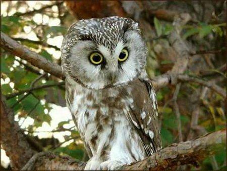 Как называются совы по-болгарски? болгарский язык, совиные, совы