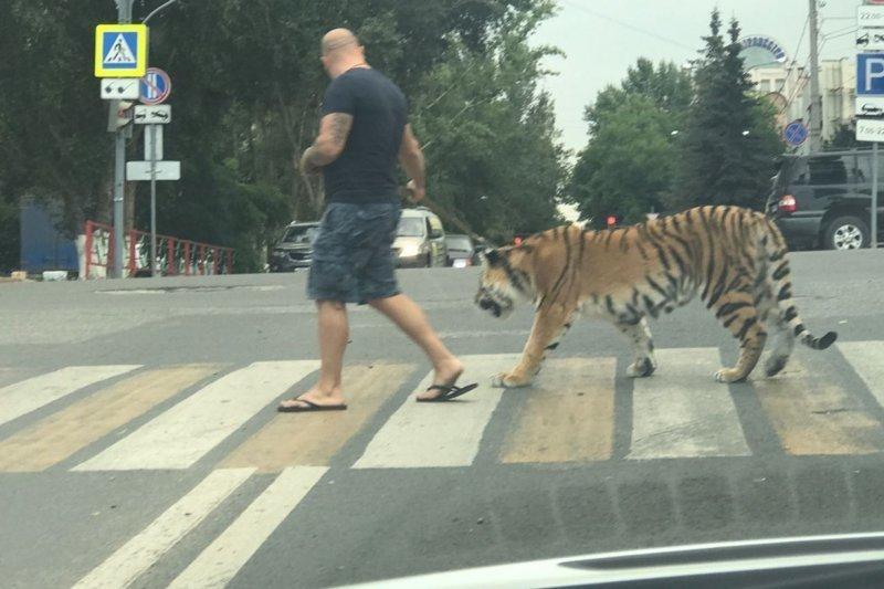 2. В Самаре на Молодогвардейской мужчина выгуливал тигра на поводке идиоты, на поводке, питомцы, фото, фрики