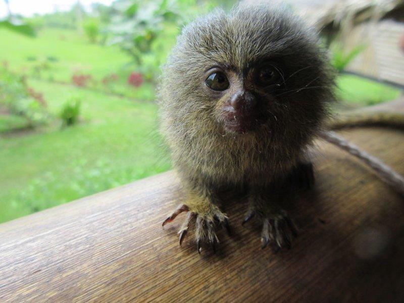 Самая маленькая в мире обезьяна - карликовая игрунка джунгли, дикие животные, животные, интересно, неизведанное, природа, фото, южная америка
