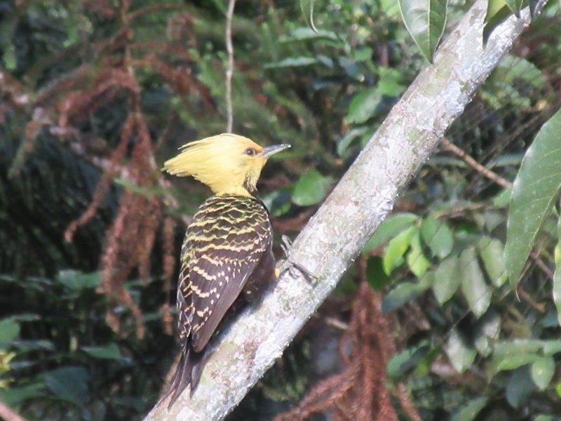 Палевохохлый целеус джунгли, дикие животные, животные, интересно, неизведанное, природа, фото, южная америка