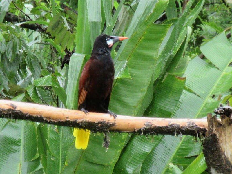 Оропендола-Монтецума джунгли, дикие животные, животные, интересно, неизведанное, природа, фото, южная америка