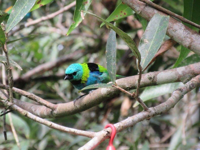 Птицы из семейства танагровых джунгли, дикие животные, животные, интересно, неизведанное, природа, фото, южная америка