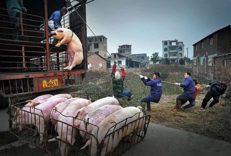 3-е место в категории «Одиночное изображение». «Подвешенная свинья». Автор фото: Цзиншэн Нье LensCulture, в мире, конкурс, люди, уличное фото, фото