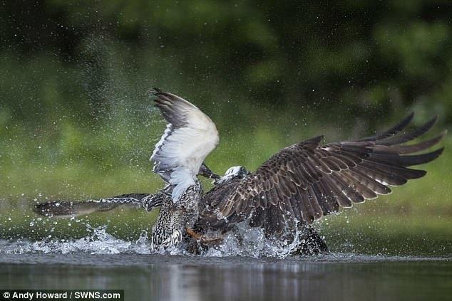 Закончилось все тем, что утка буквально оседлала ни в чем не повинную скопу, оставив хищницу без обеда! дикая природа, животные, природа, птицы, схватка, удачный момент, утка, фото