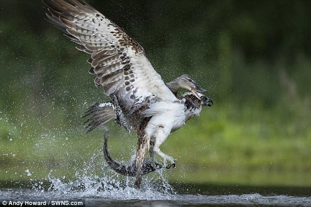 Неожиданно на озере развернулся экшн! Дикая утка начала атаковать птицу, так, что пойманный обед скопы упал обратно в воду дикая природа, животные, природа, птицы, схватка, удачный момент, утка, фото