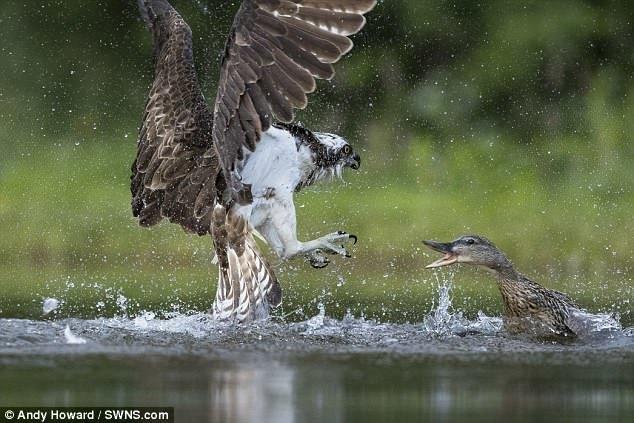Хищная птица скопа заметила в озере форель, и решила пообедать. Она и не подозревала, рядом с кем приземлится.. дикая природа, животные, природа, птицы, схватка, удачный момент, утка, фото