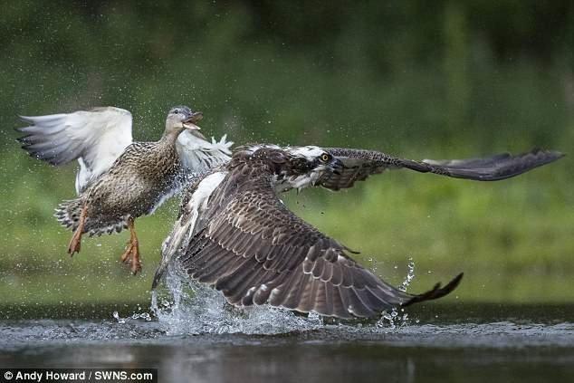 Эпичное действо происходило в городе Авмор в Шотландии. дикая природа, животные, природа, птицы, схватка, удачный момент, утка, фото