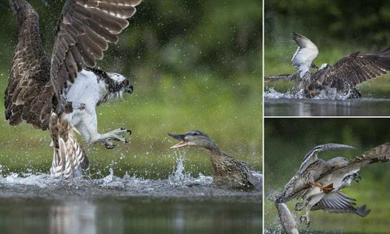 Эпичная схватка: дикая утка атаковала скопу и оставила без обеда дикая природа, животные, природа, птицы, схватка, удачный момент, утка, фото