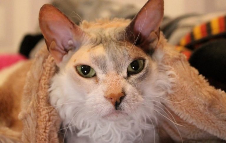 Страшилки про Чернобыль и прочую радиацию Даша отвергла с ходу. Во-первых, кошечка не фонила, дозиметр ничего не показывал. Во-вторых, Симона обожала мороженое, а это верный признак, что она не монстр, скажет вам любой ребенок   Симона, домашний питомец, животные, история, кошка, шерсть
