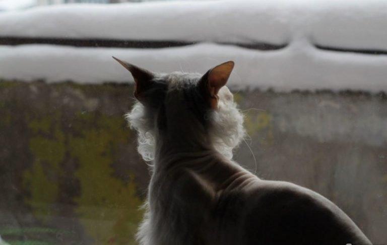 Но постепенно она приняла стабильный вариант: лысый верх, волосатый низ и бахрома по периметру Симона, домашний питомец, животные, история, кошка, шерсть