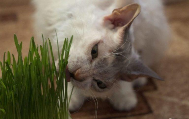 Местами лысый пушистый монстр: история уникальной кошки Симоны Симона, домашний питомец, животные, история, кошка, шерсть