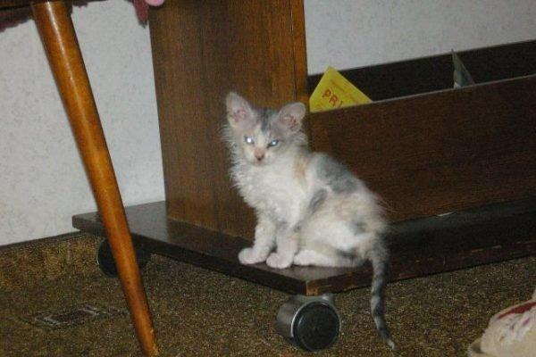 Сначала Симона была пестрым озорным котенком, которого мама девочки Даши разрешила оставить дома    Симона, домашний питомец, животные, история, кошка, шерсть