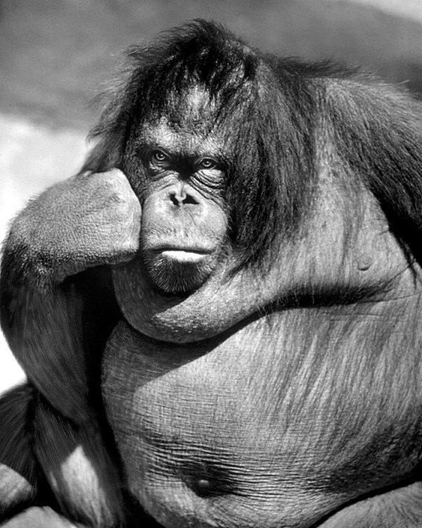 Самка орангутана в глубокой задумчивости в зоопарке Бронкса, около 1977 - коллекция изображений LIFE Весь Мир в объективе, ретро, фотографии