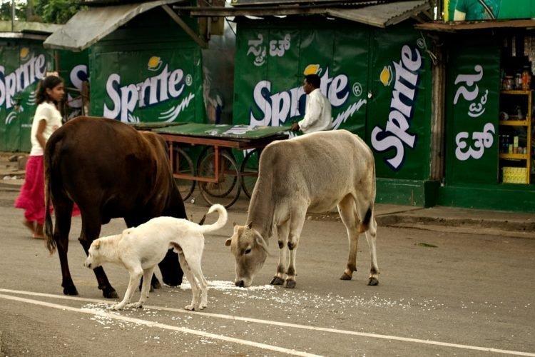 Коровы - такие же жители города, как и люди funny foto, индия, интересно, смешно, юмор