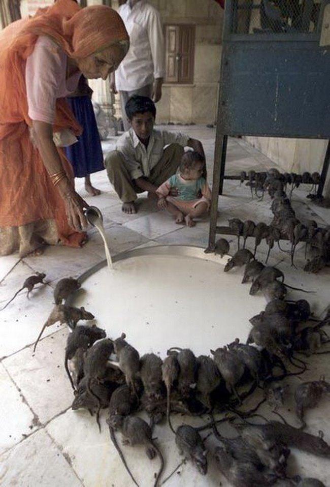 В некоторых храмах поклоняются крысам и наливают им молочка funny foto, индия, интересно, смешно, юмор