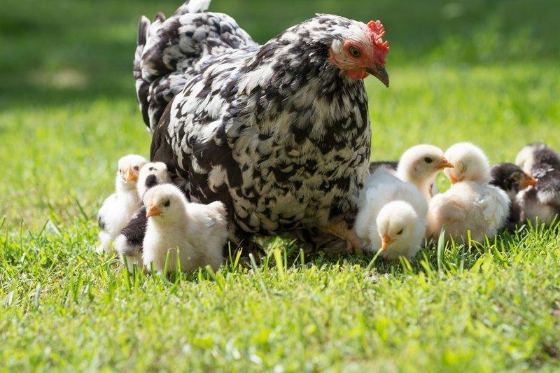 Миф 5. Без петуха курица нестись не сможет вкусно, еда, куриное яйцо, мифы