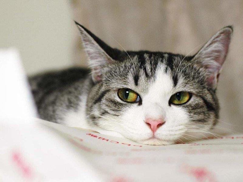А вы знали какова средняя продолжительность жизни кошек в домашних условиях? ветеринария, кошки, полезные статьи