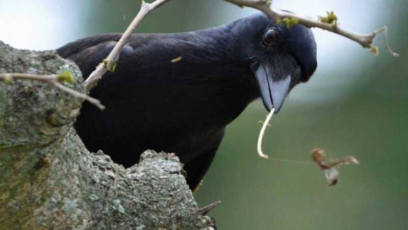 Как умные вороны меняют наше понимание интеллекта ворона, интеллекта, интересно, удивительно, факт