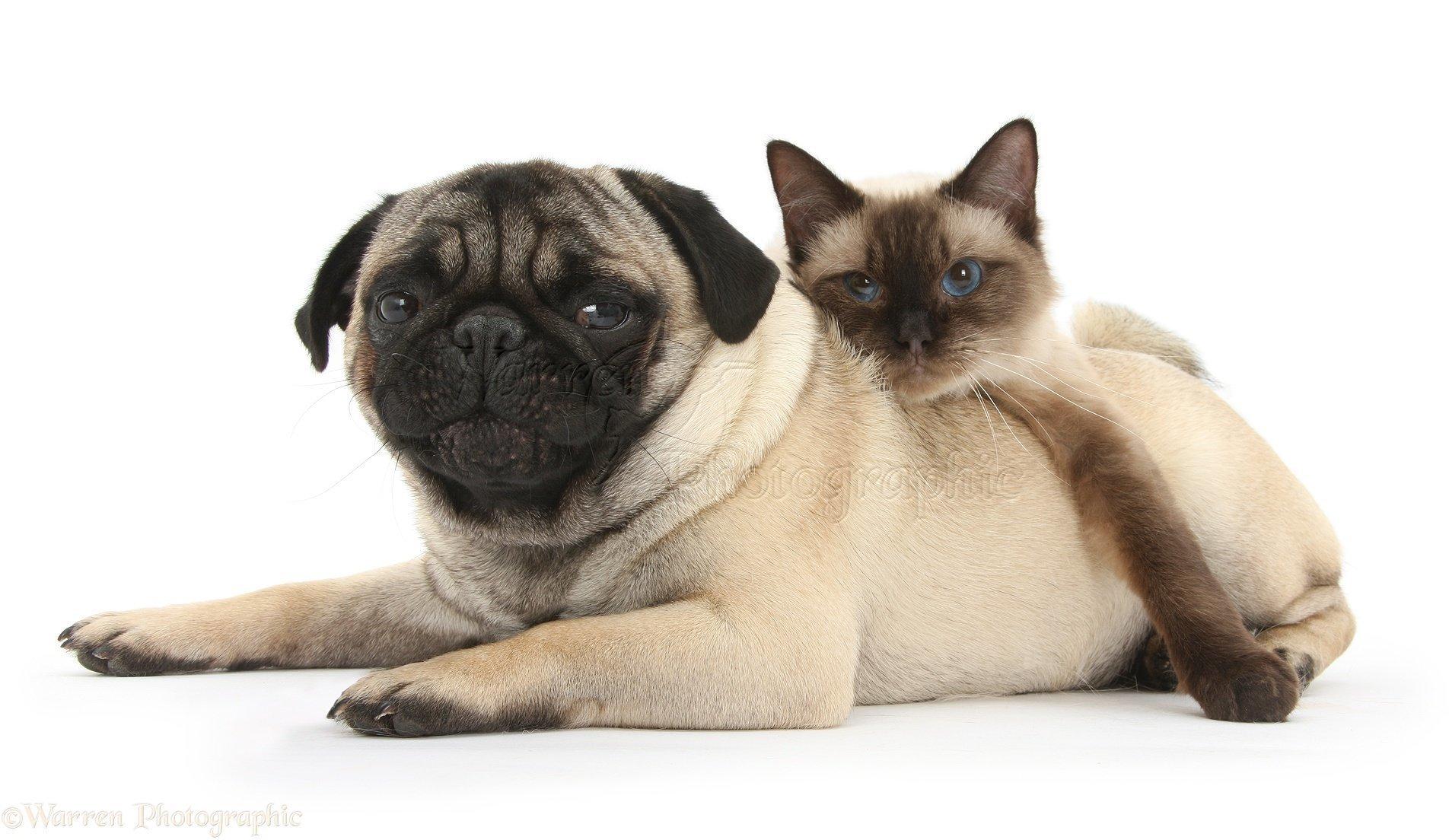 мопсы и кошки картинки будет регулируемая