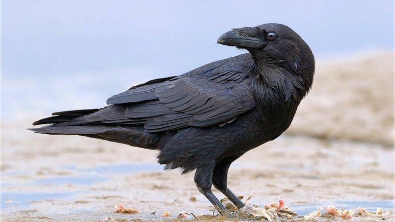 Вороны — одни из самых умных животных на планете вороны, животные, птицы, умные вороны, юмор
