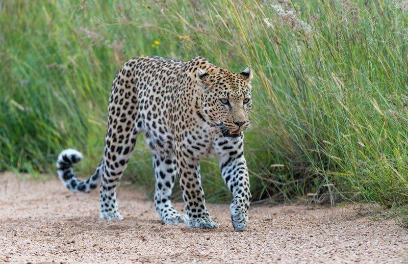 Почему в Африке леопардов ищут с помощью антенн антена, африка, в мире, животные, леопард, люди