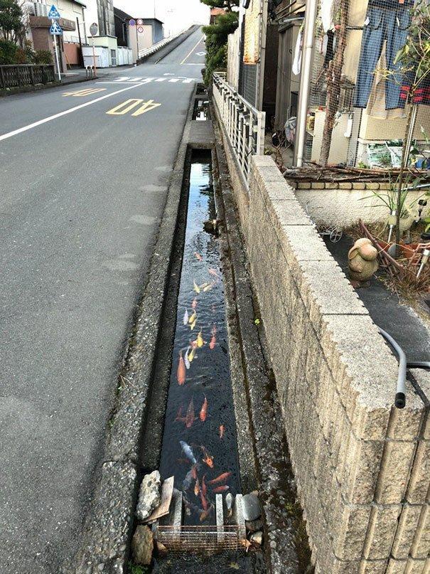 13. В Японии карпы кои плавают даже в дренажных каналах  изобретение, инновация, мир, путешествие, факты, фото, япония