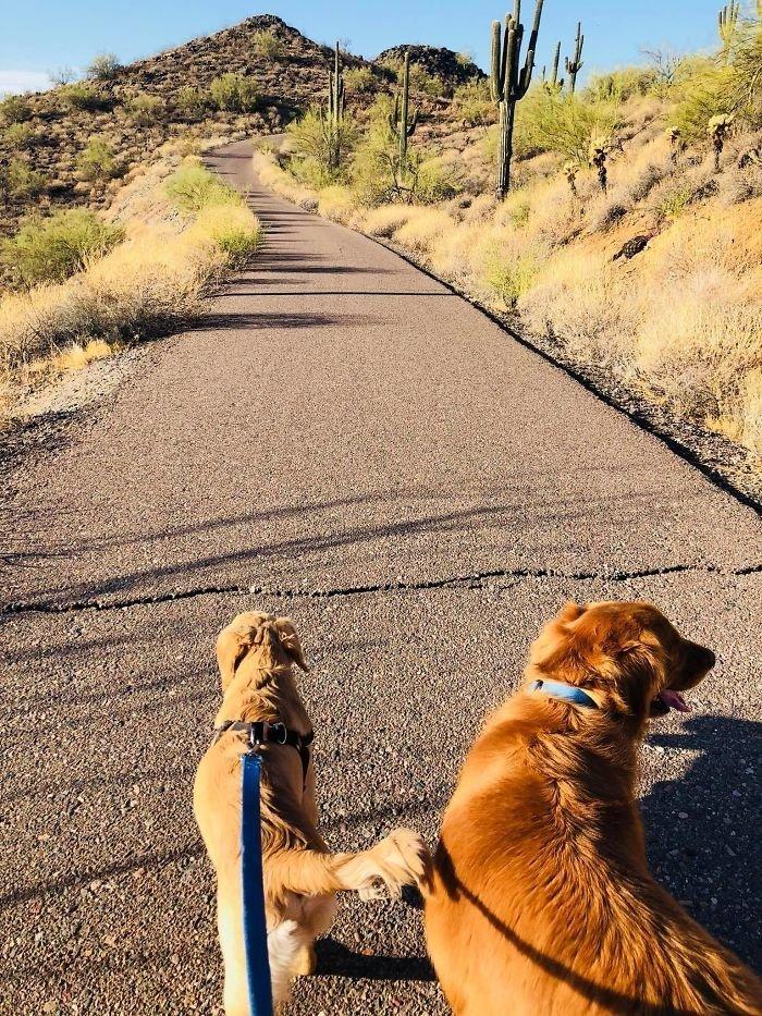 В прошлую пятницу Пола Гудвин вывела собака на прогулку животные, золотистый ретривер, история