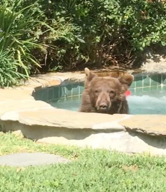 Медведь пробрался в джакузи жителя США и выпил его коктейль видео, джакузи, животные, забавно, звери, медведь, неожиданно, юмор