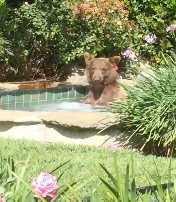 Почему бы не освежиться в жаркий калифорнийский день? видео, джакузи, животные, забавно, звери, медведь, неожиданно, юмор