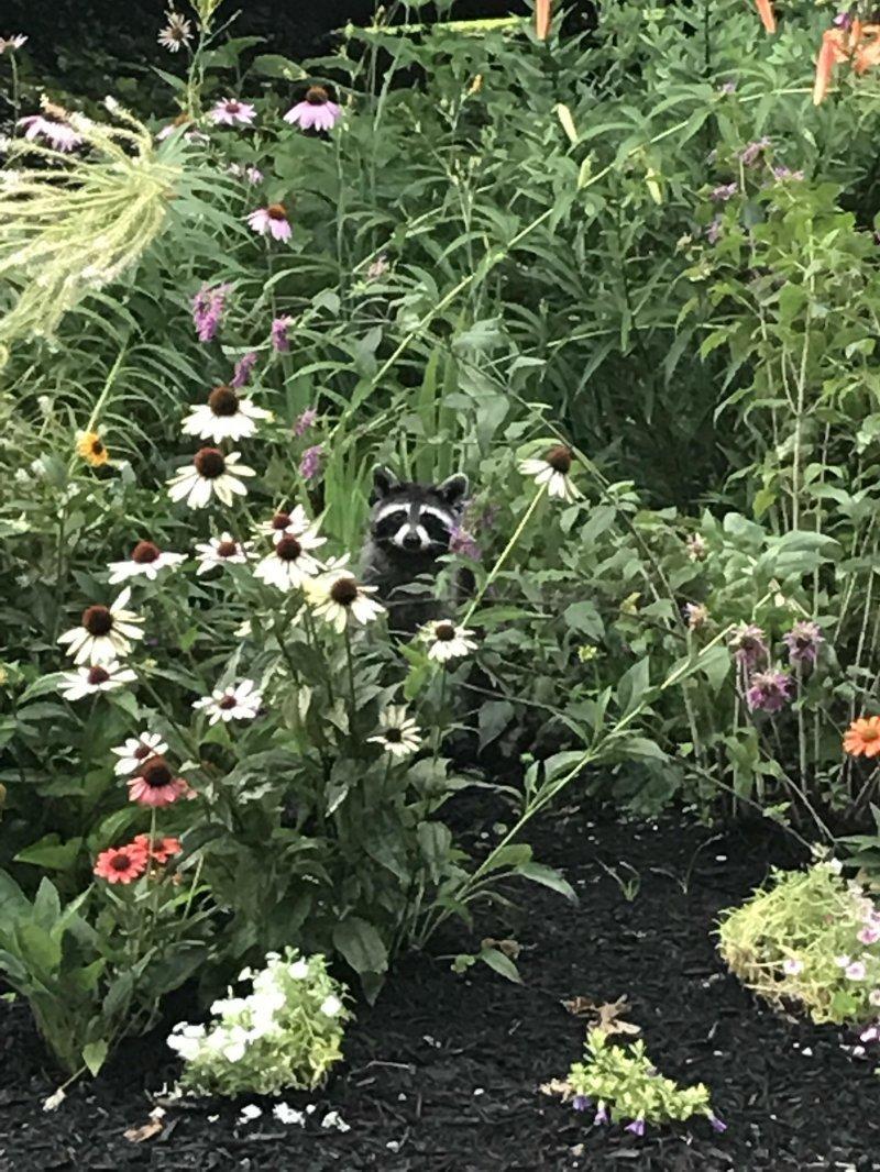 Енот в саду день, животные, кадр, люди, мир, снимок, фото, фотоподборка