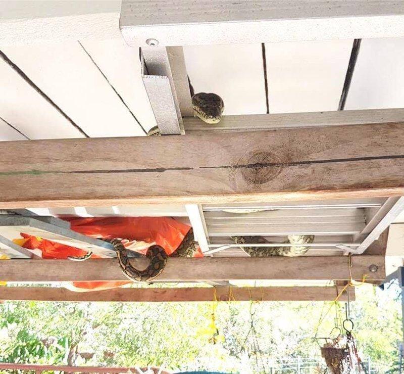 «Взгляд убийцы»: Двухметровый питон до смерти напугал зашедшего в гараж австралийца в мире, взгляд, животные, змея, история, люди, питон, ужас
