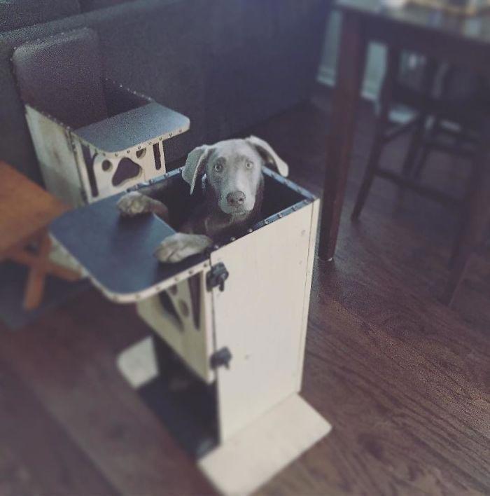 Этот прелестный лабрадор должен есть на высоком стуле из-за редкого заболевания в мире, добро, животные, забота, люди, собака