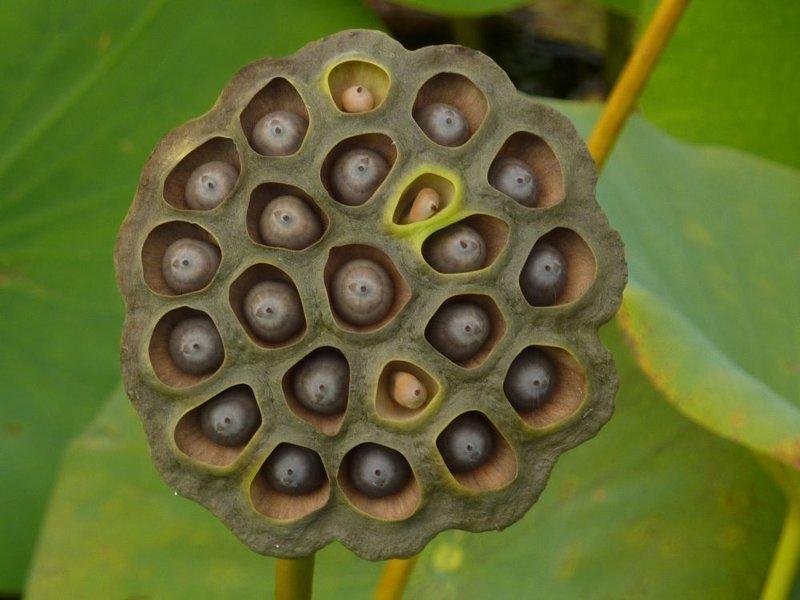 Всего лишь семена созревающего лотоса #asmr, #triphophobia #трипофобия #асмр #yamaniya, трипофобия