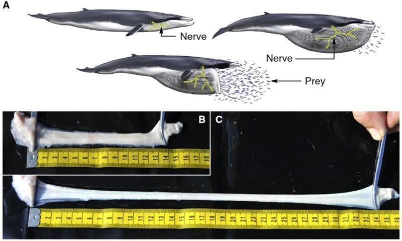 Растяжение нервов в пасти кита при зачерпывании воды вопросы, интересное, мир, наука, познавательно, факты