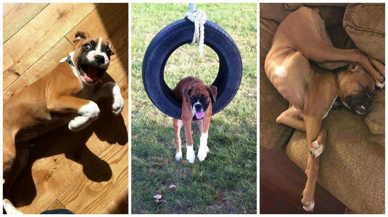 30 доказательство того, что боксёры - самые странные, но самые обалденные собаки на свете боксеры, боксёры, домашние животные, смешные фото, смешные фотографии, собаки, собаки и хозяева, четвероногие питомцы