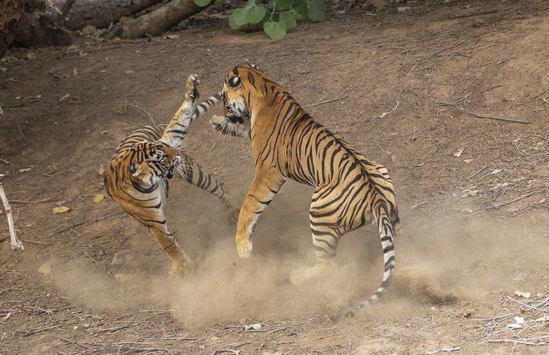 Танец-бой: невероятные фотографии схватки индийских тигров балет ярости, животные, индия, национальный парк, невероятно, раджастан, тигры, фото