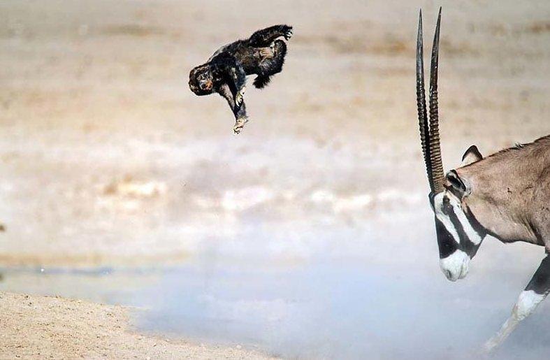 Антилопа научила медоеда летать Медоед, антилопа, барсук, в мире, животные, схватка