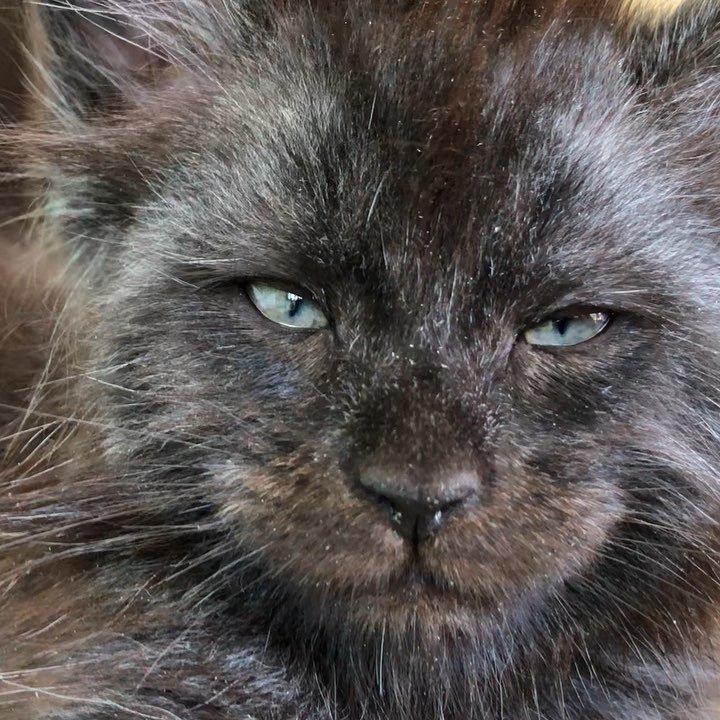 Валькирия не выдумана и не нарисована, она родилась 1 мая текущего года в Подмосковье, в питомнике Catsvill County! животные, кошки, мейн-кун, милота, питомник, россия
