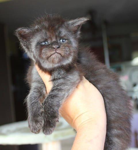 Мохнатые и ушастые Мейн Куны и так похожи на маленькие, но грозные исчадия ада, а когда еще неуклюжие по детству — фантазия дорисует что угодно животные, кошки, мейн-кун, милота, питомник, россия