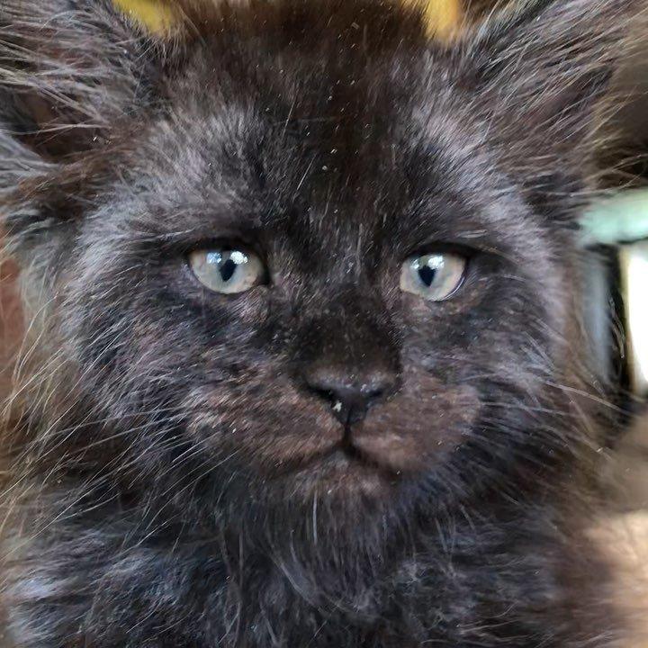 Знакомьтесь, Валькирия. Кошечка породы Мейн Кун, дитя знаменитых родителей с впечатляющей родословной животные, кошки, мейн-кун, милота, питомник, россия
